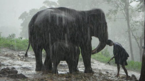 Elephants in the rain, Chiang Mai, Thailand