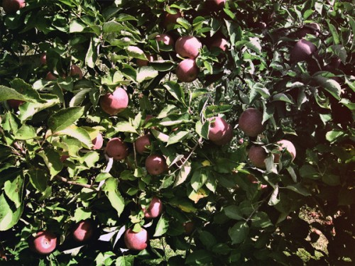 Stayman Winesap Apple Trees at Terhune Orchards