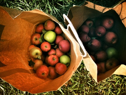 20 Pounds of apples from apple picking
