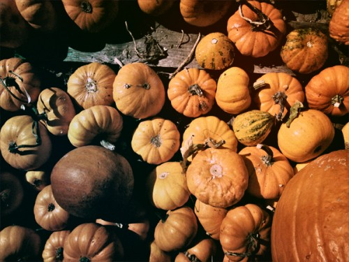 Pumpkins of all sizes for sale